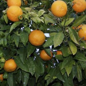 arance amare - arancia Mia