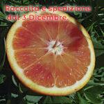 Arance Tarocco Gallo IGP Grosso